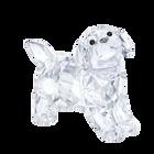 Labrador Puppy, standing